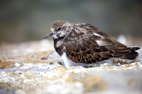 Turnstone clinging to a vertical wall to escape a very high tide