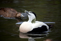 Eider Ducks courting in order to mate and increase the numbers of this endangered species