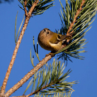 Goldcrest - a bird of integrity - it has a gold crest.
